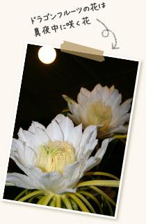 ドラゴンフルーツの花は真夜中に咲く花